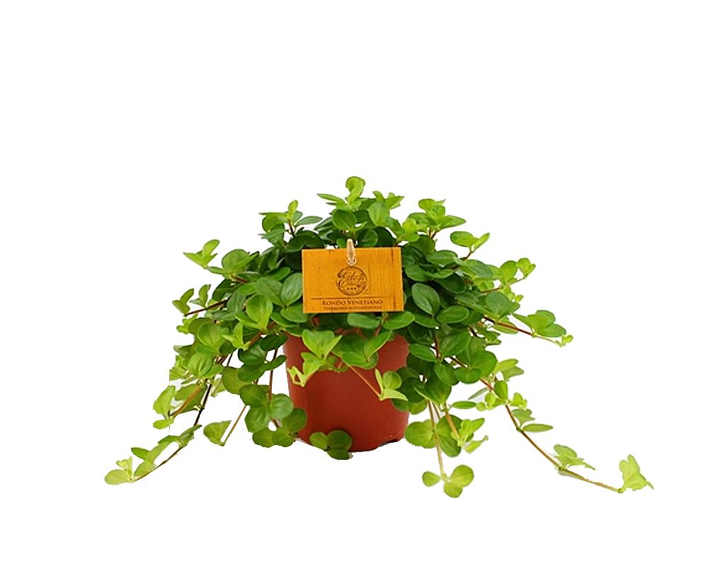 PEPEROMIA ROTUNDIFOLIA vaso 12 piante verdi piante da serra piante da interno oz planten
