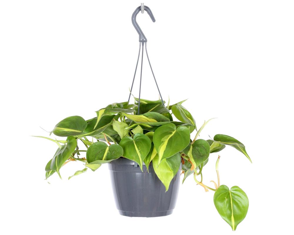 PHILODENDRON BRASIL VASO 16 BASKET piante interno piante verdi IN BASKET