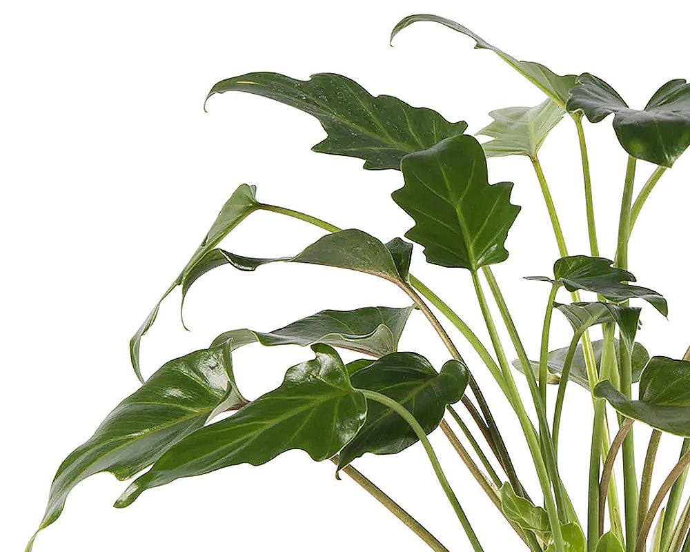 PHILODENDRON XANADI vaso 17 piante verdi da serra calda Oz Planten dett