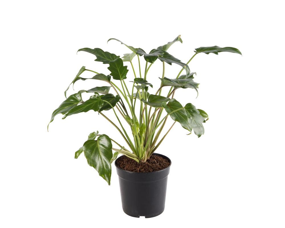PHILODENDRON XANADI vaso 17 piante verdi da serra calda Oz Planten