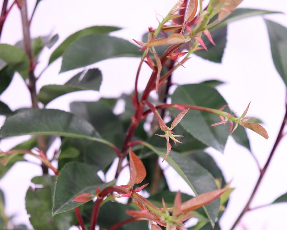 PHOTINIA FRASERI vaso 22 piante da esterno piante siepi 2