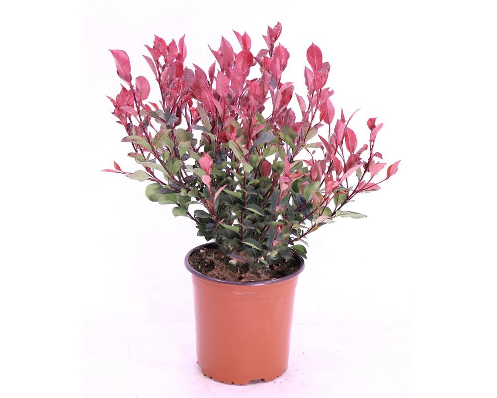PHOTINIA FRASERI vaso 22 piante da esterno piante siepi