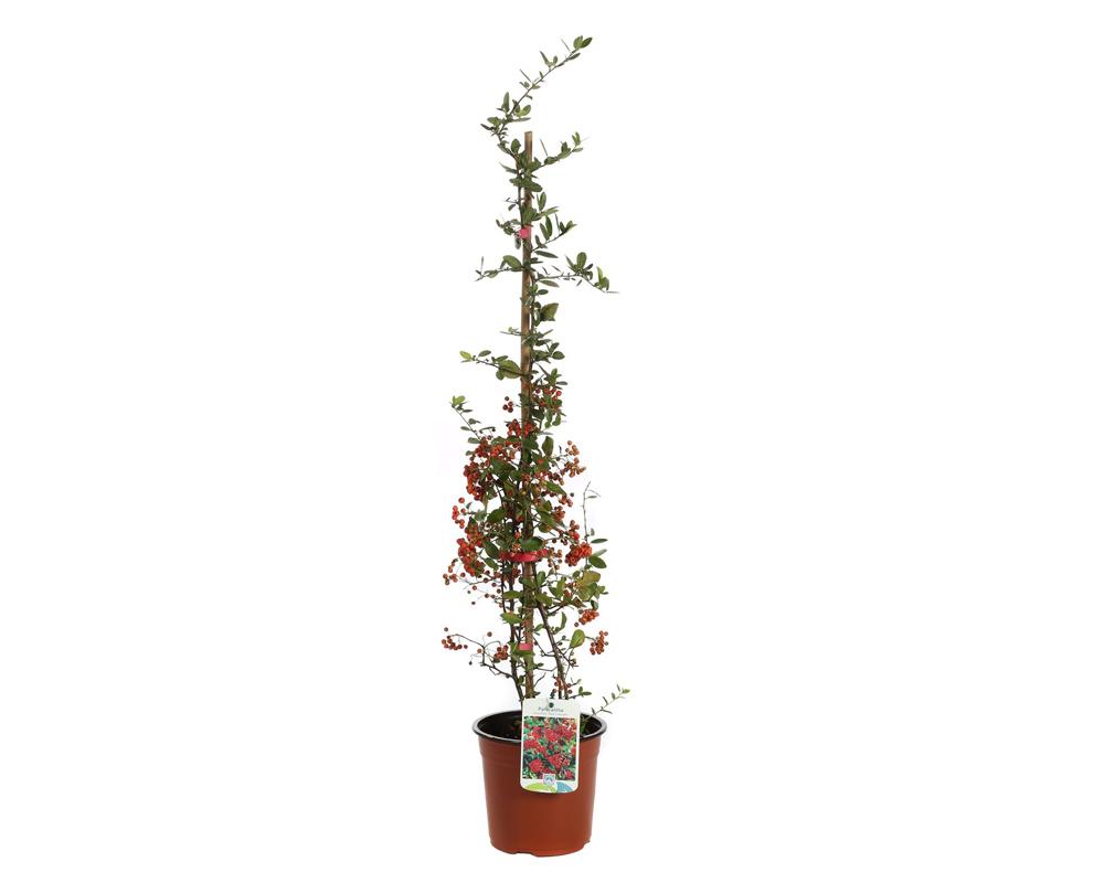 PYRACANTA vaso 22 piante e fiori piante da esterno 2