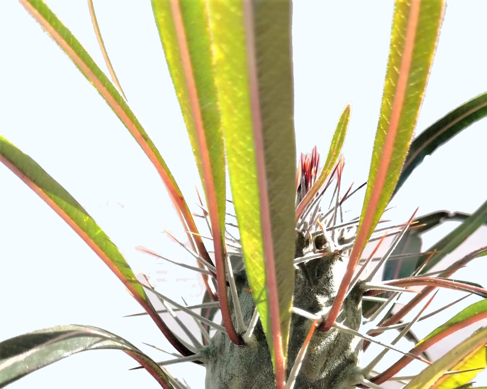 Pachipodium geayi vaso 20 piante grasse piante e fiori 2