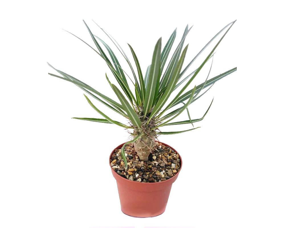 Pachipodium geayi vaso 20 piante grasse piante e fiori