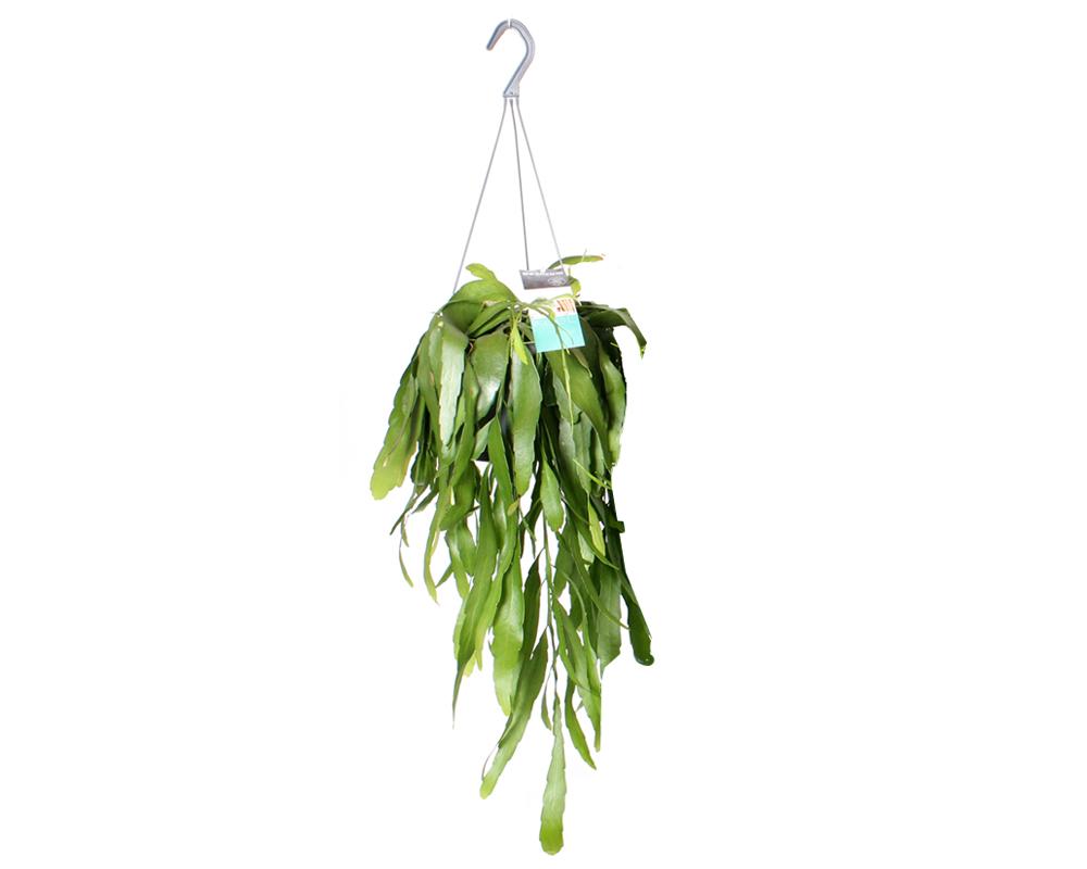 RHIPSALIS vaso 17 piante verdi da serra calda Oz Planten 1