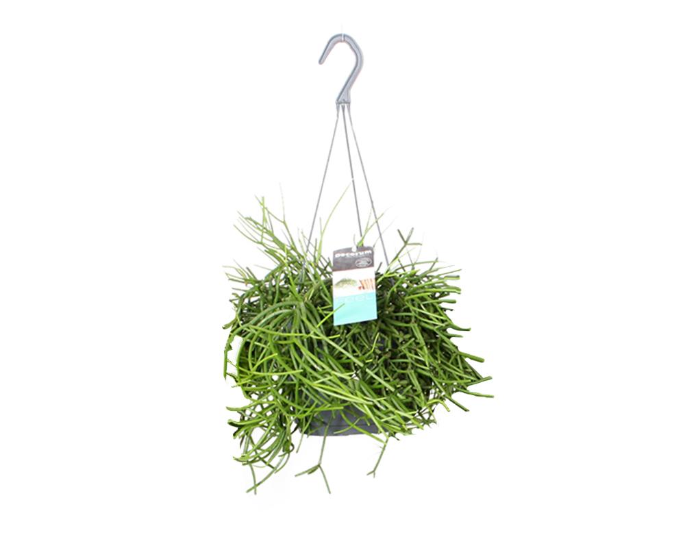 RHIPSALIS vaso 17 piante verdi da serra calda Oz Planten 2