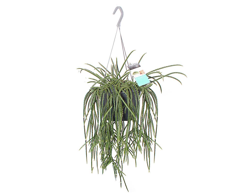 RHIPSALIS vaso 17 piante verdi da serra calda Oz Planten 3