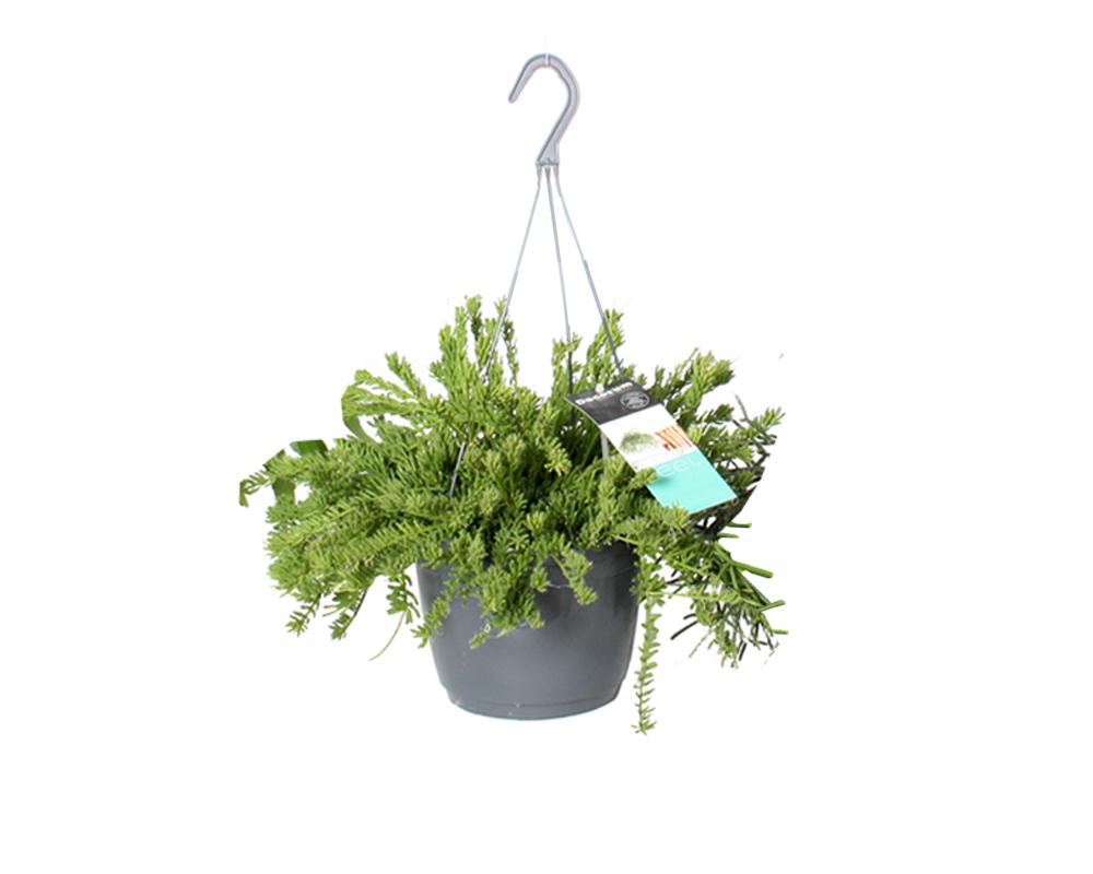 RHIPSALIS vaso 17 piante verdi da serra calda Oz Planten 4