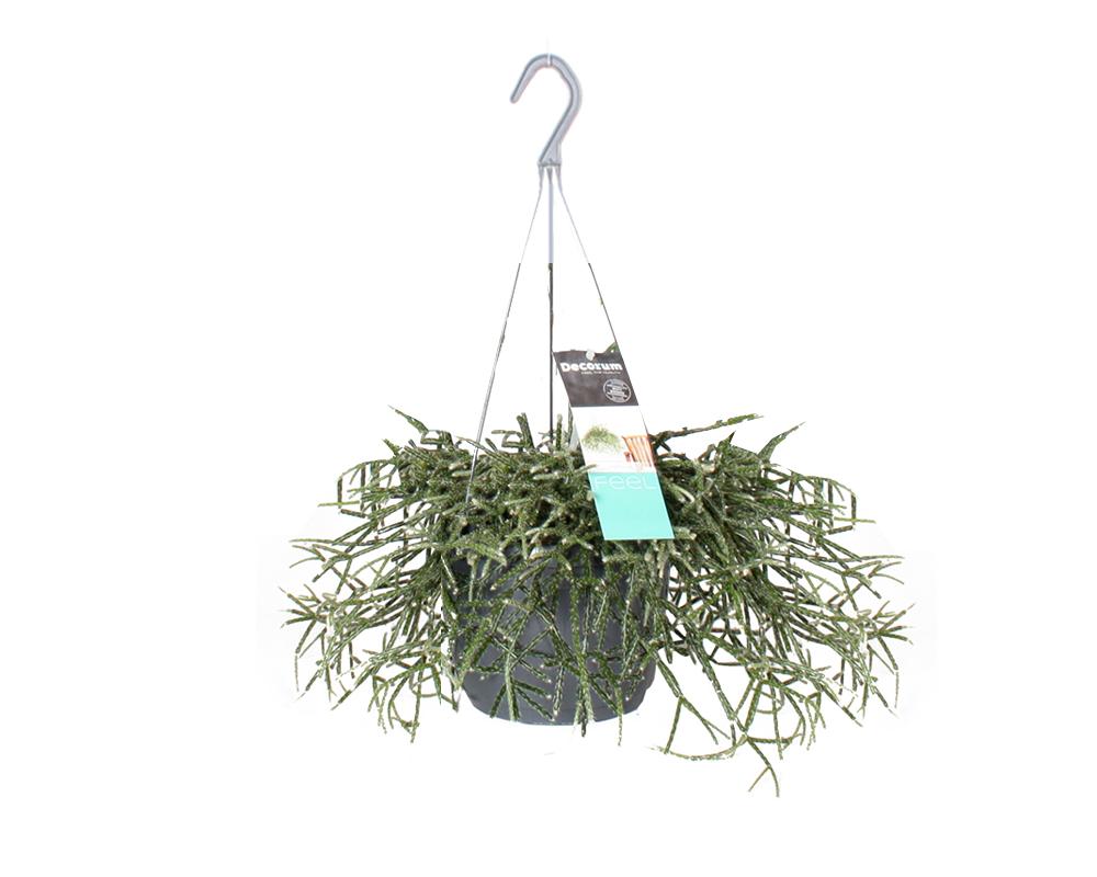 RHIPSALIS vaso 17 piante verdi da serra calda Oz Planten 5