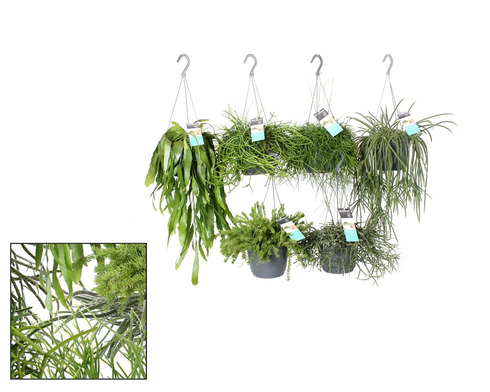 RHIPSALIS vaso 17 piante verdi da serra calda Oz Planten