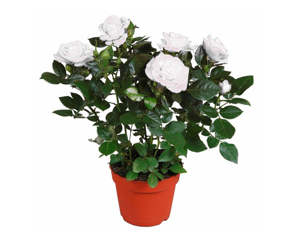 ROSA RAMPICANTE MME ALFRED CARRIERE vaso 20 piante fioritie d