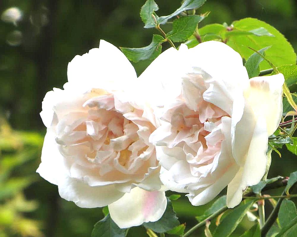 ROSA RAMPICANTE MME ALFRED CARRIERE vaso 20 piante fioritie