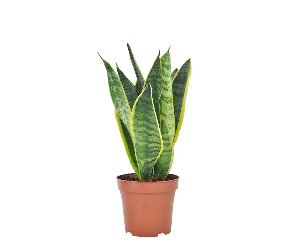 SANSEVERIA FUTURA SUPERBA vaso 9 piante verdi da serra calda Oz Planten