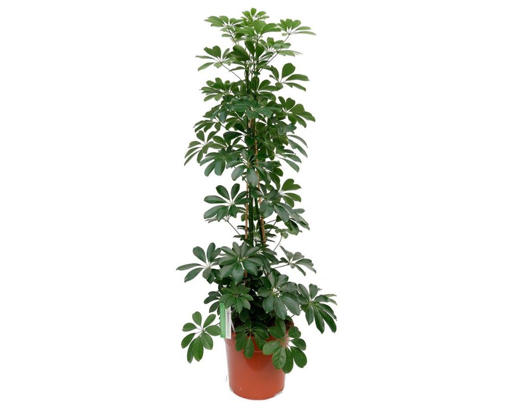 SCHEFFLERA H130 150 piante da interno serra calda verdi