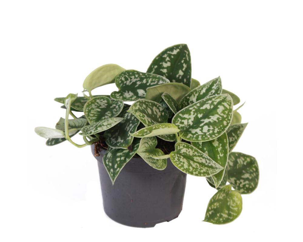 SCINDAPSUS PICTUS ARGYRAEUS vaso 12 piante da interno verdi opz planten