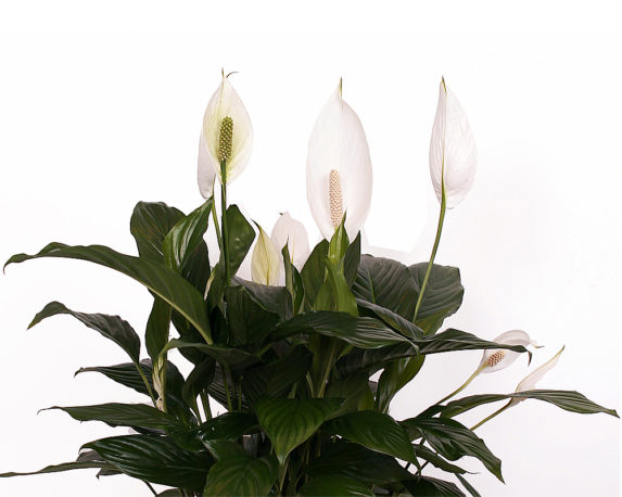 SPATHIPHILLIUM BINGO CUPIDO vaso 19 piante da interno piante serra caldal