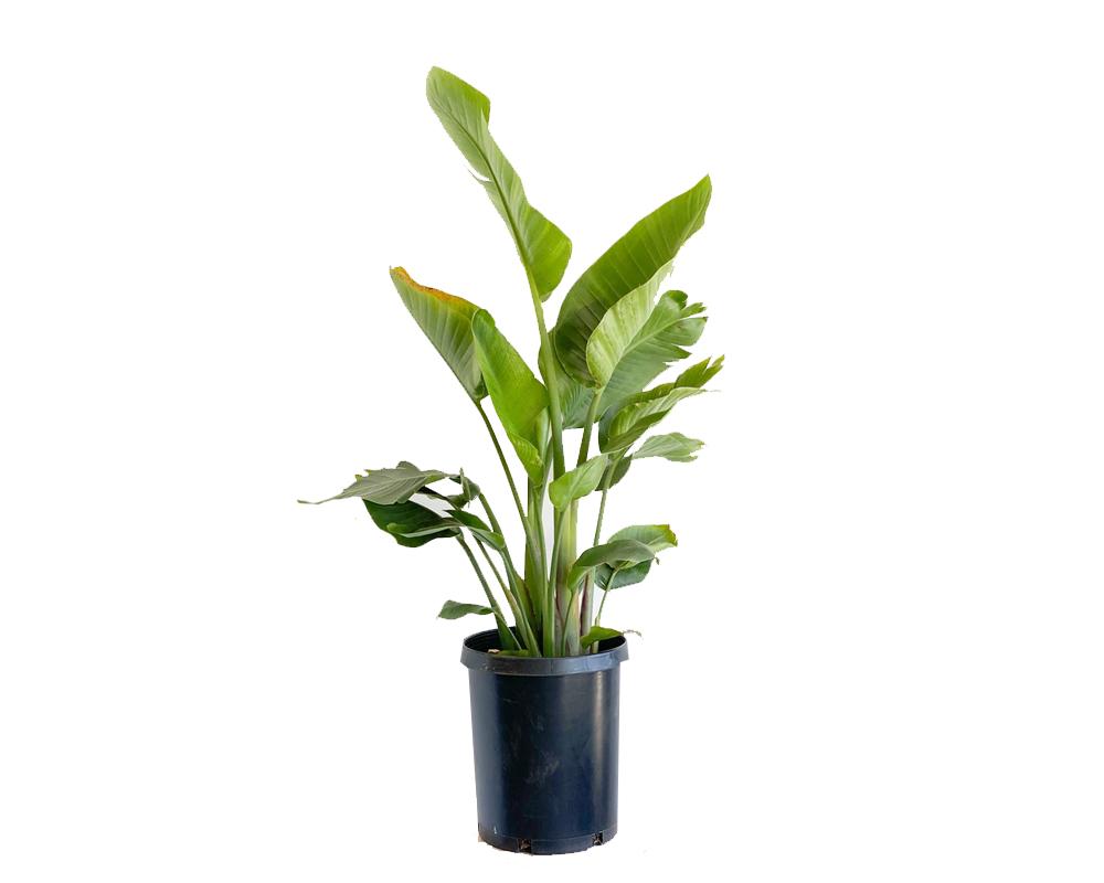 STRELIZIA REGINAE vaso 22 piante da interno piante fiorite
