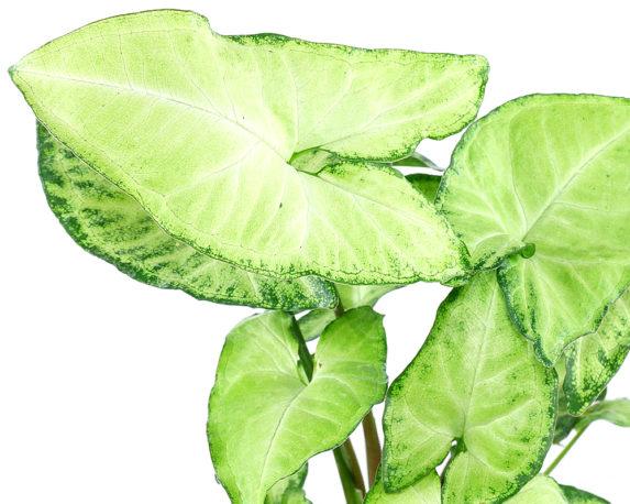 SYNGONIUM FEEL GREEN vaso 14 piante verdi da intenro oz planten dettaglio