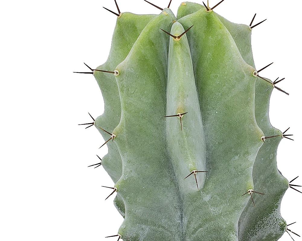 Stenocereus vaso 17 cactacee piante e fiori piante grasse 2
