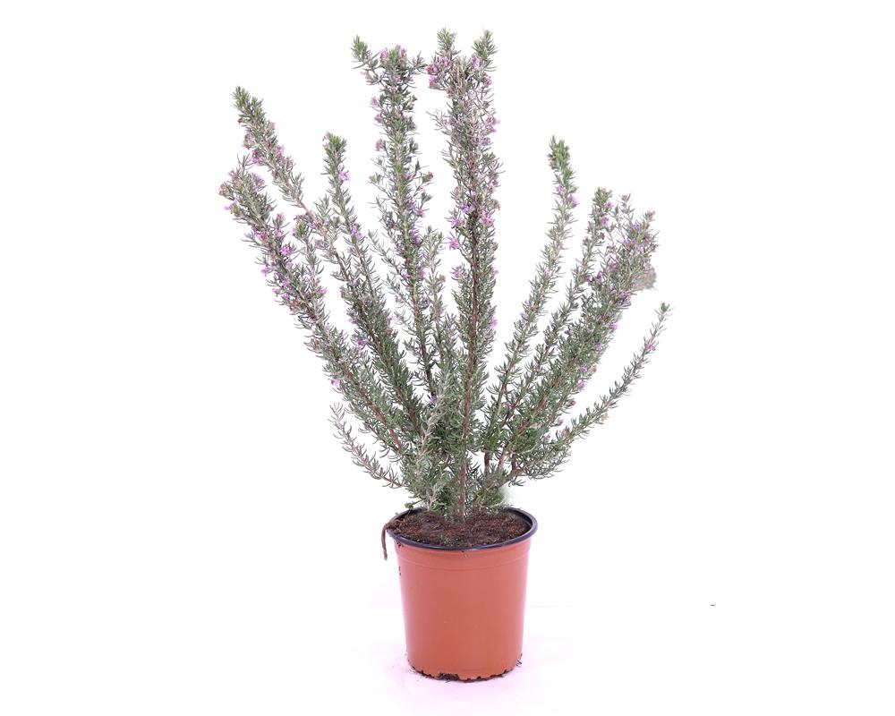 TEUCRIUM Vaso 16 piante fiorite da esterno giardino vivaio
