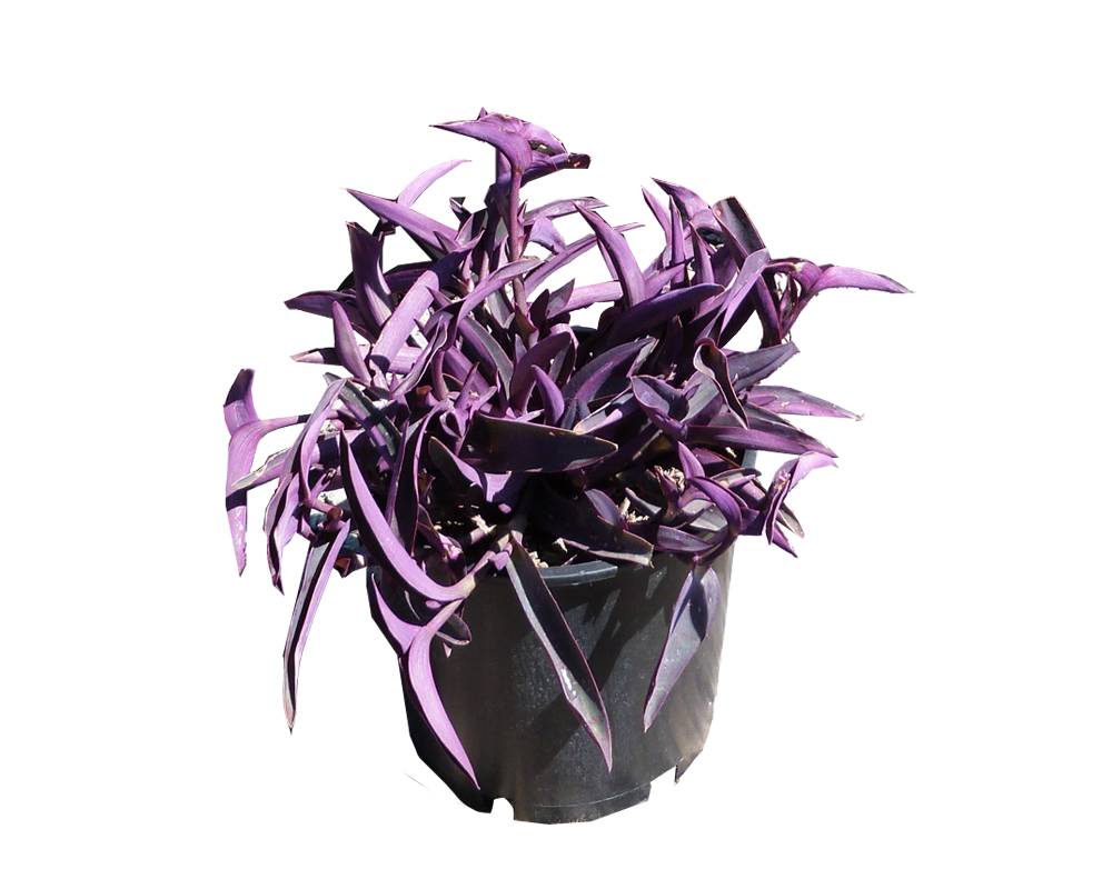 TRADESCANTIA PURPUREA vaso 16 piante da esterno d