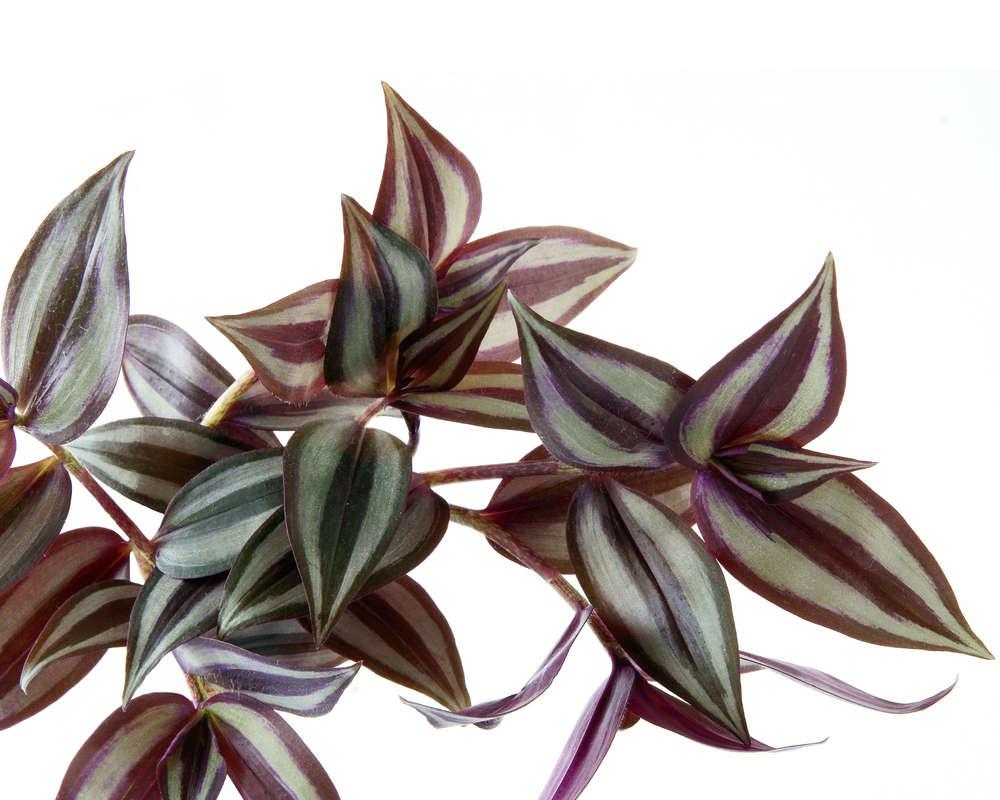 TRADESCANTIA ZEBRINA basket 16 piante da esterno d