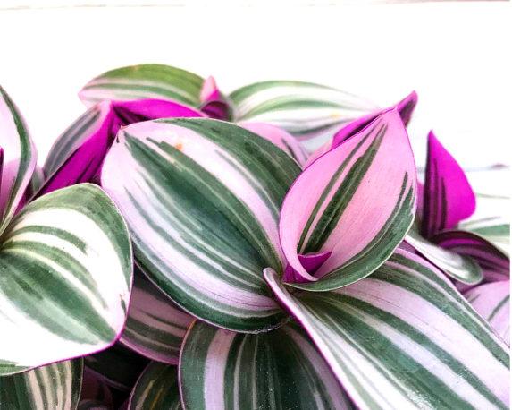 Tradescantia Kokodama Eden Collection basket oz planten piante per interno dett