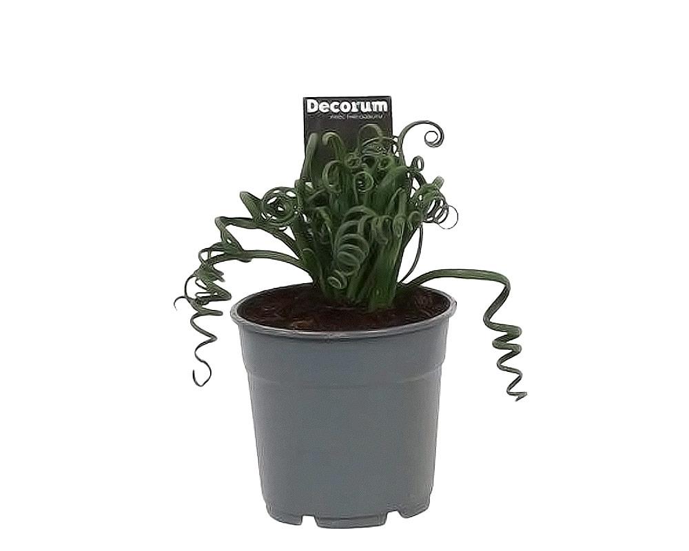 albuca spiralis frizzle sizzle piante e fiori serra calda piante fiorite e verdi oz planten