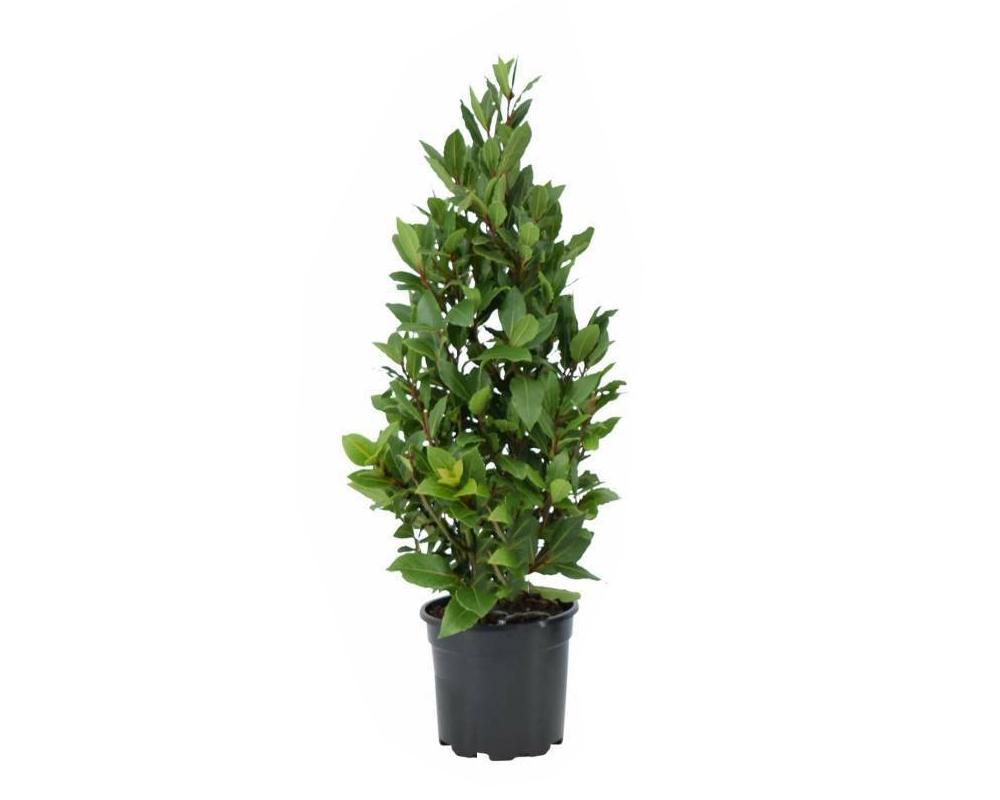 alloro vaso 16 piante aromatiche officinali orto