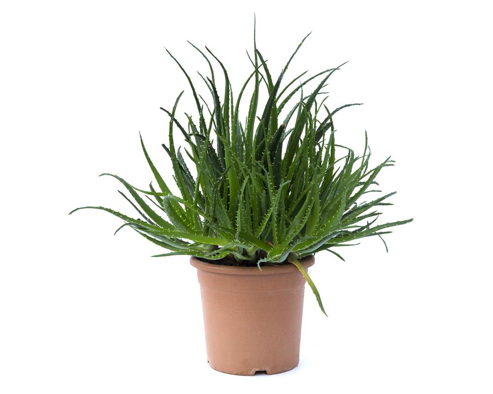 aloe spinosissima vaso 24 piante grasse