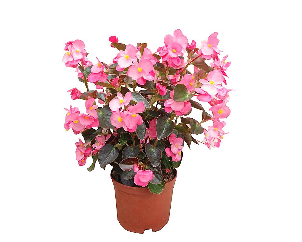 begonia vaso 14 piante fiorite