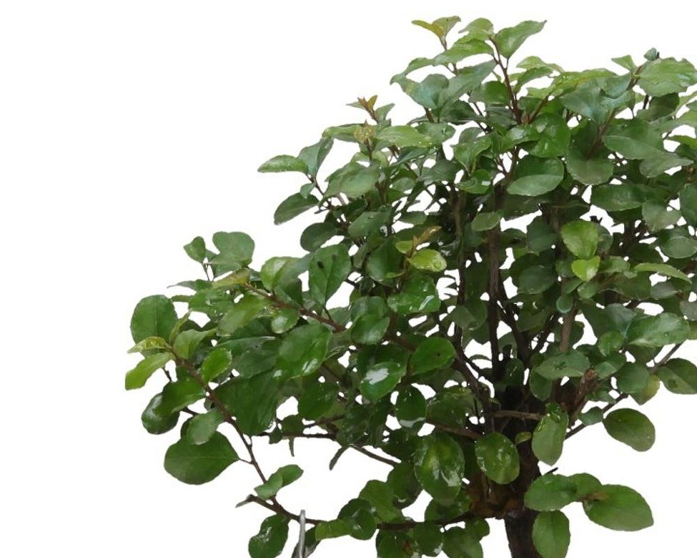 bonsai sageretia piante da interno piante verdi oz planten vaso 13 1