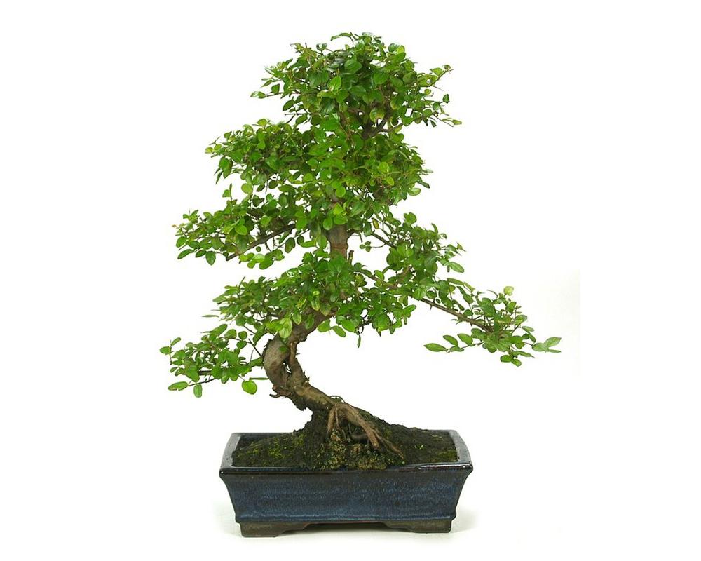 bonsai sageretia piante da interno piante verdi oz planten vaso 13