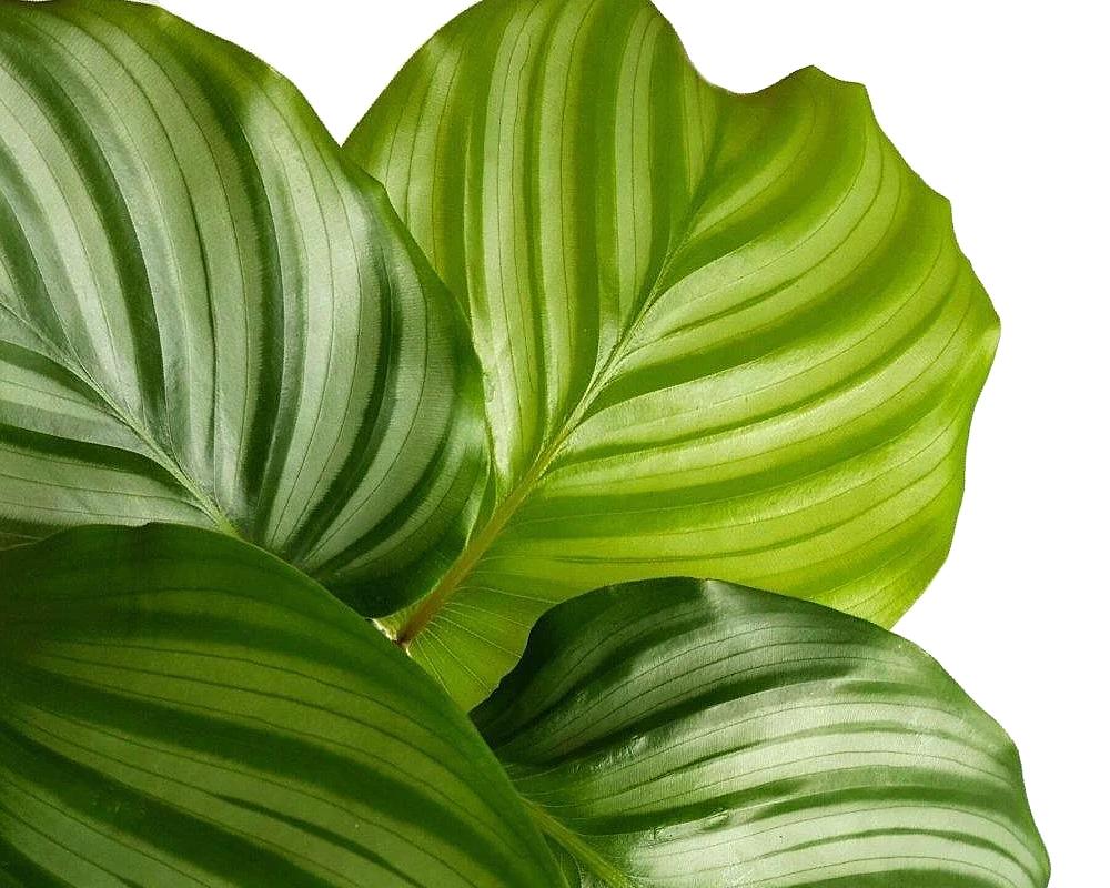 calathea orbifolia vaso 12 piante verdi da serra calda oz planten dett
