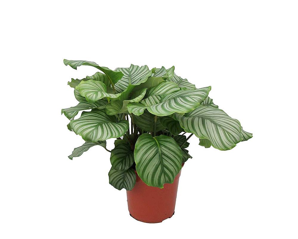 calathea orbifolia vaso 12 piante verdi da serra calda oz planten