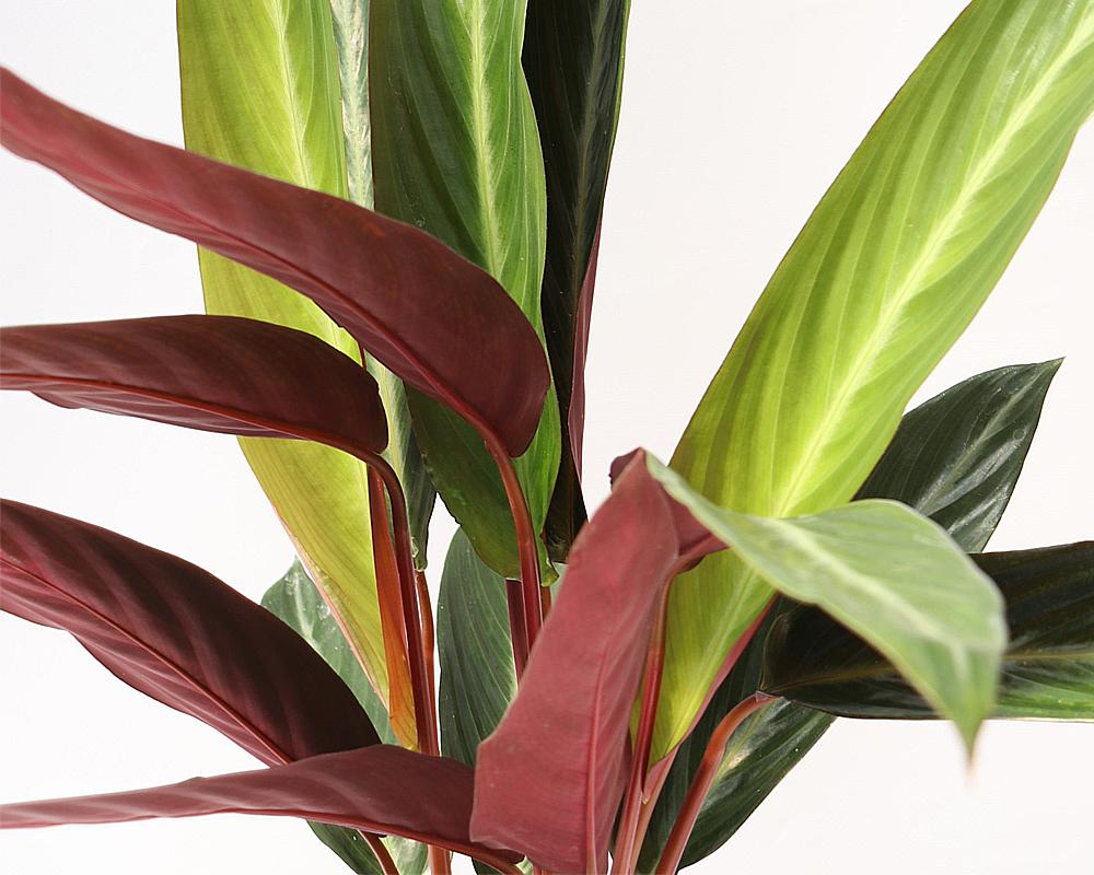 calthea triostar piante verdi serra calda oz planten 1