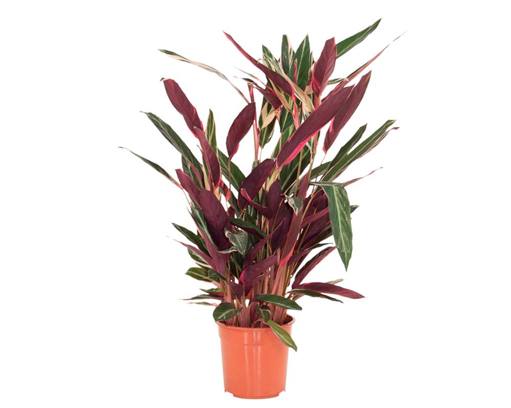 calthea triostar piante verdi serra calda oz planten