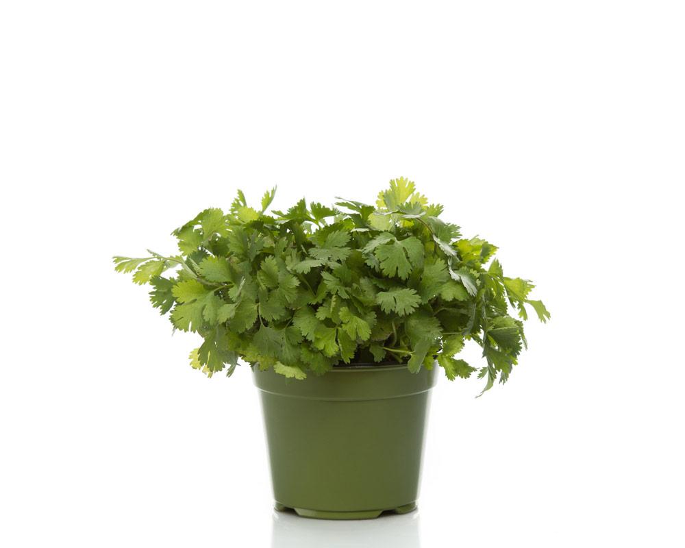coriandolo piante e fiori aromatiche orto e aromatiche cucina aromi