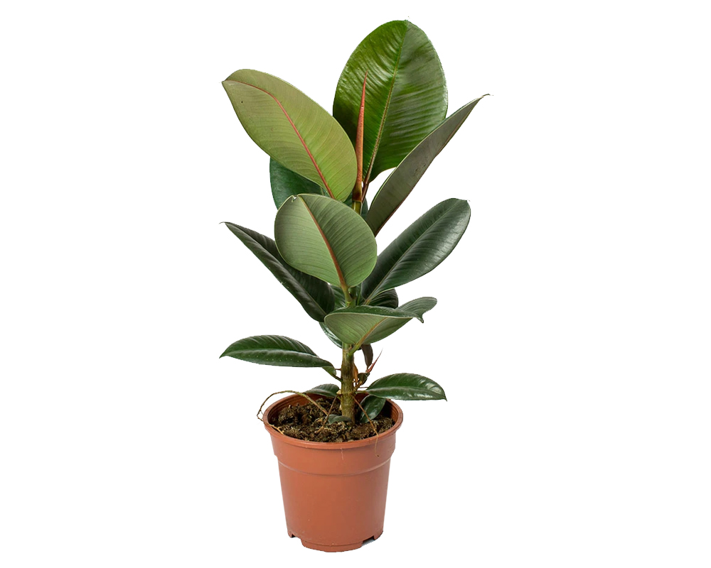 ficus robusta vaso 19 piante da interno piante verdi