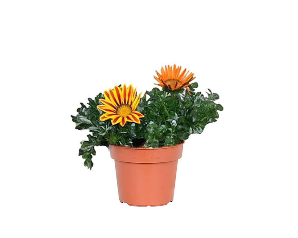 gazania vaso 9 piante e fiori vivaio