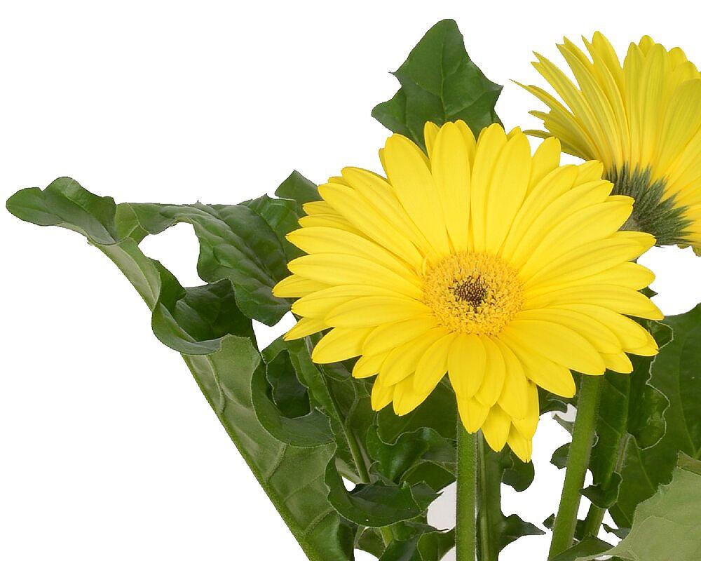 gerbera piante fiorite piante da vivaio piante e fiori giardino oz plante vaso 9.dettaglio