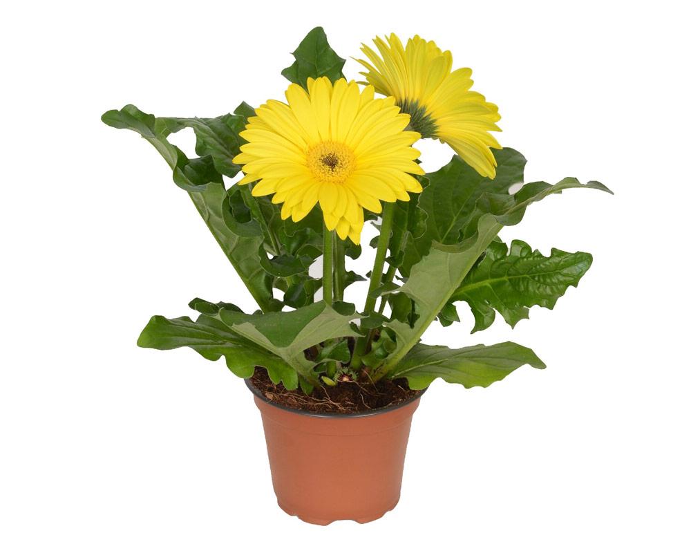 gerbera piante fiorite piante da vivaio piante e fiori giardino oz plante vaso 9