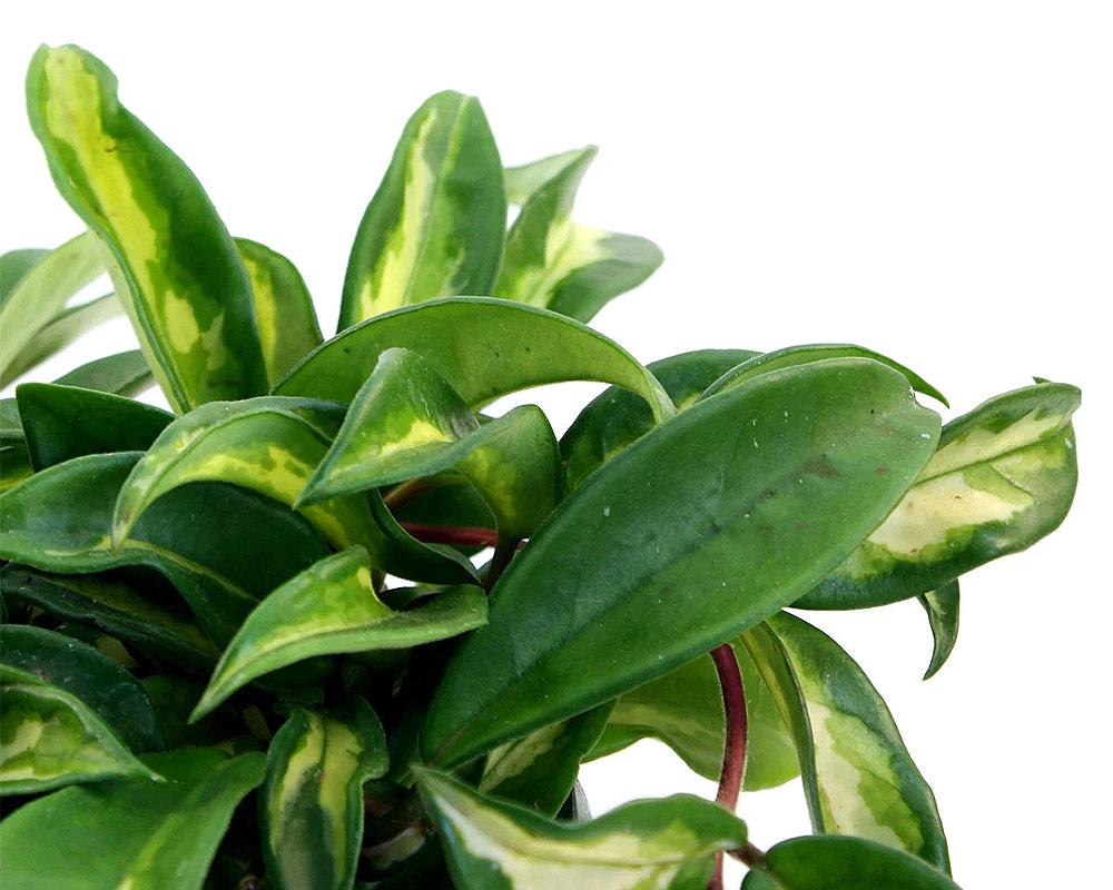hoya carnosa piante e fiori piante verdi e succulente piante da interno piante da serra oz planten.2