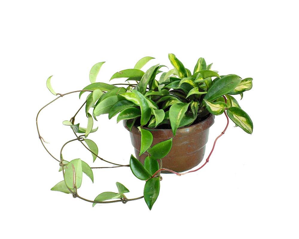hoya carnosa piante e fiori piante verdi e succulente piante da interno piante da serra oz planten