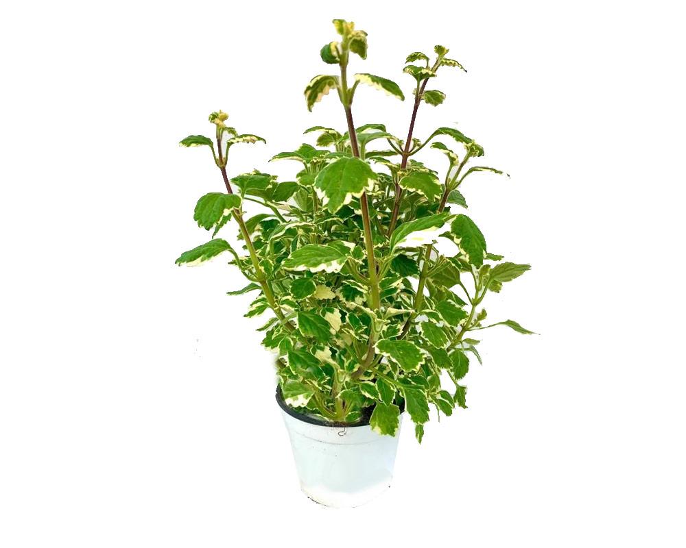 inceso vaso 16 piante verdi