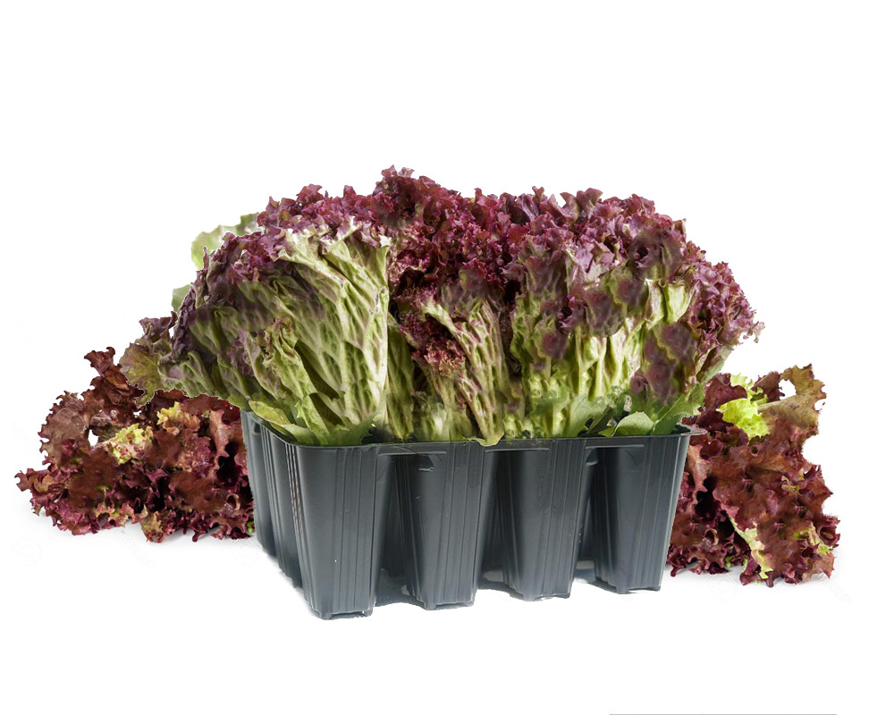 lattuga lollo rossa riccia il mio orto i sapori del mio orto piante e fiori ortaggi.2