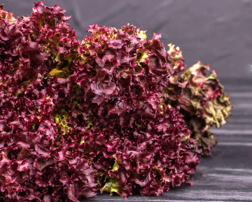 lattuga lollo rossa riccia il mio orto i sapori del mio orto piante e fiori ortaggi