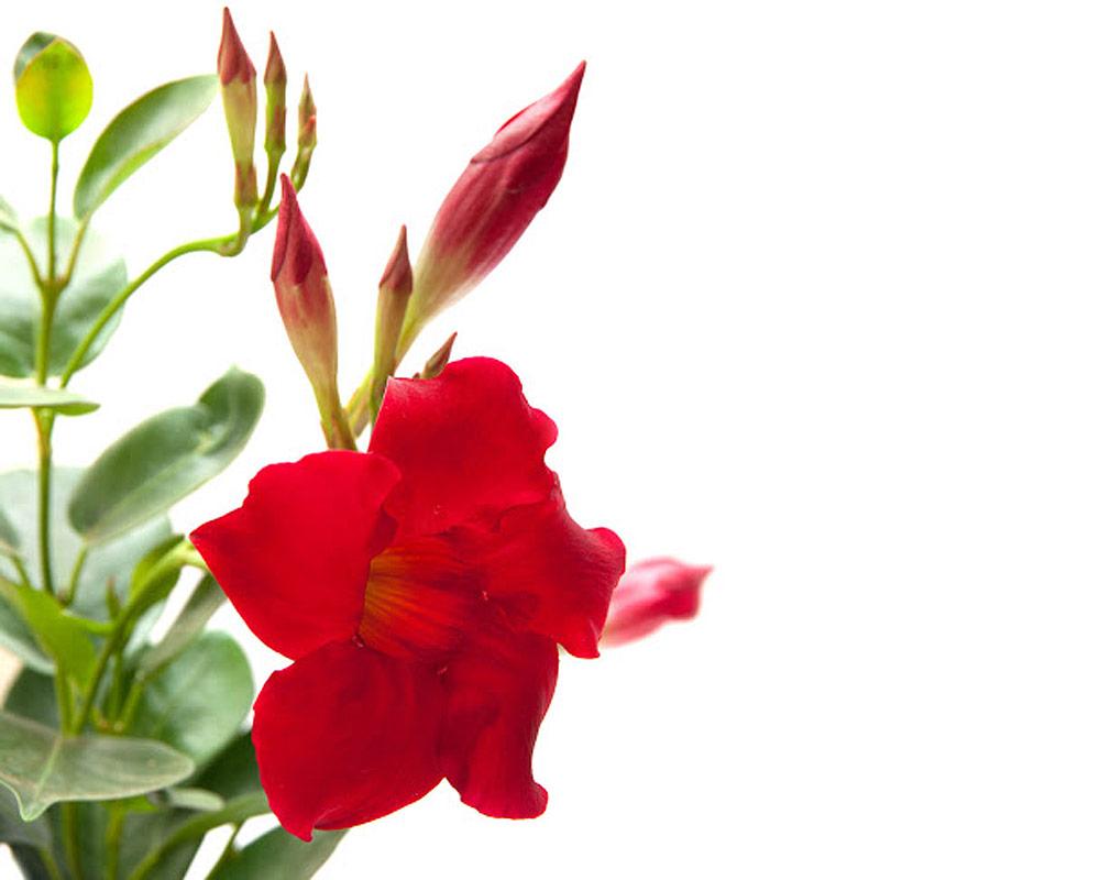 mandevillea bloom bells piramide vaso 19 piante e fiori rampicanti isgrojpg.3
