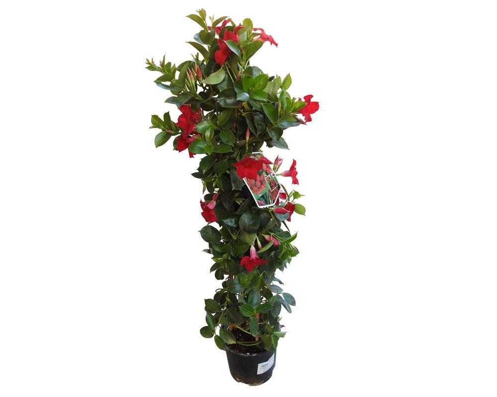 mandevillea bloom bells piramide vaso 19 piante e fiori rampicanti isgrojpg